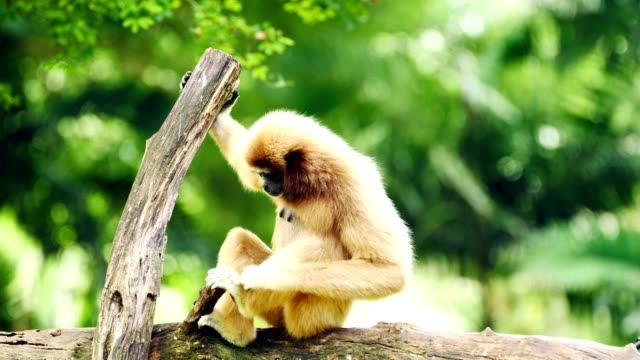 white gibbon relaxing on a log. - гиббон стоковые видео и кадры b-roll