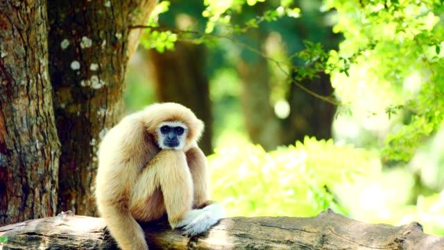 white gibbon relaxing on a log. - gibbone video stock e b–roll