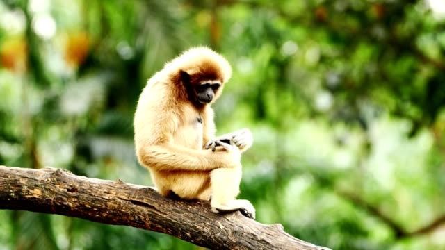 white gibbon relaxing on a log. - primate video stock e b–roll
