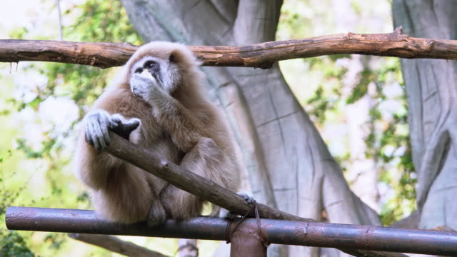 white gibbon sitting and eating alone - гиббон стоковые видео и кадры b-roll