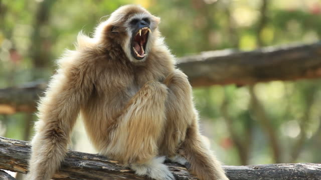 White gibbon video