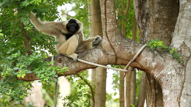 white gibbon - gibbon människoapa bildbanksvideor och videomaterial från bakom kulisserna