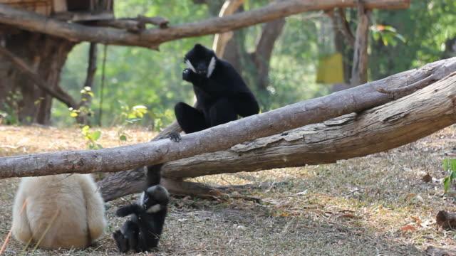 vita gibbon - gibbon människoapa bildbanksvideor och videomaterial från bakom kulisserna