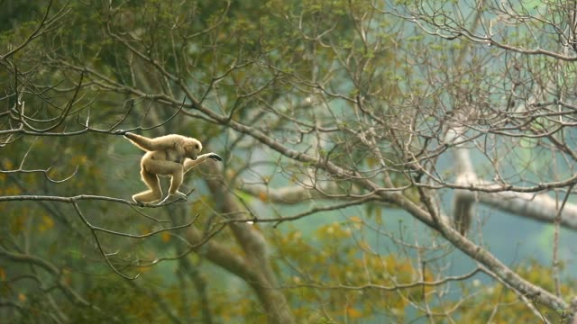 white gibbons a jumping in the trees at nature , slow motion - scimmia antropomorfa video stock e b–roll