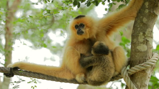 white gibbons and baby in the nature, slow motion - gibbone video stock e b–roll