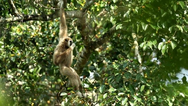 vit gibbons i naturen, djur i det vilda, slow motion - gibbon människoapa bildbanksvideor och videomaterial från bakom kulisserna