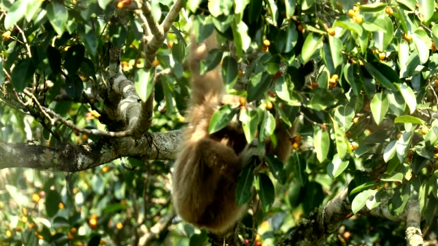 gibboni bianchi nella natura, animale allo stato brado - gibbone video stock e b–roll