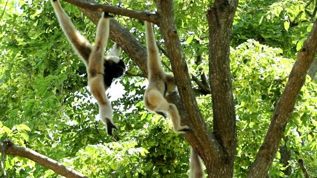 vita gibbons i naturen, slowmotion - gibbon människoapa bildbanksvideor och videomaterial från bakom kulisserna