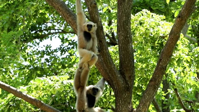 white gibbons in the nature, slow motion - gibbone video stock e b–roll