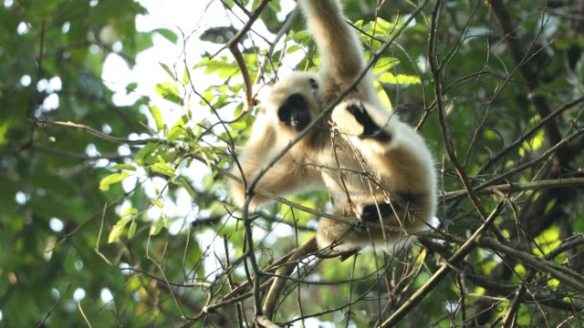 white gibbons in the nature - гиббон стоковые видео и кадры b-roll