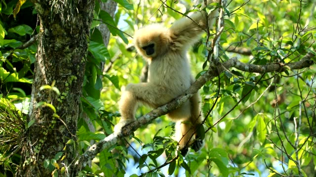 white gibbons in the nature - gibbone video stock e b–roll
