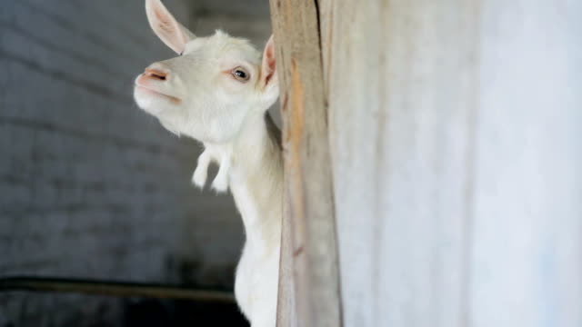 White goat peeking out of the barn. video