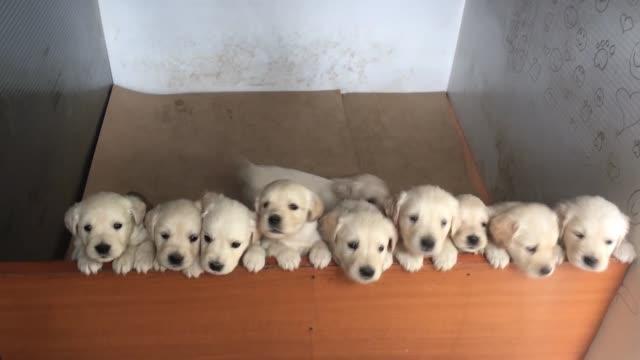 white golden retriever puppies in litter whelping box - молодое животное стоковые видео и кадры b-roll