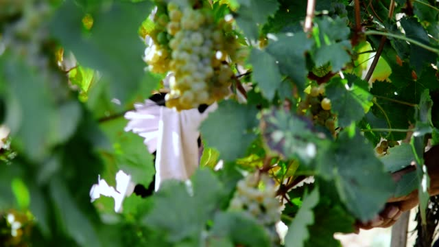 white grape harvest - uva riesling bianco video stock e b–roll