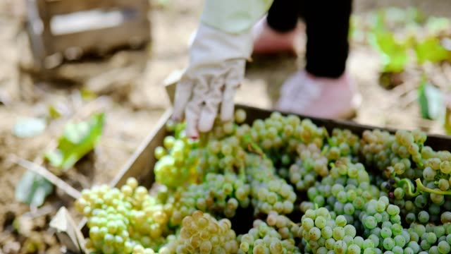 white grape harvest - uva video stock e b–roll