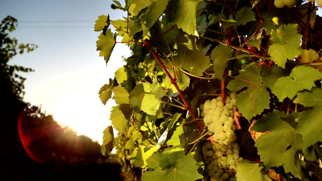 White grape of the vineyard at sunset video