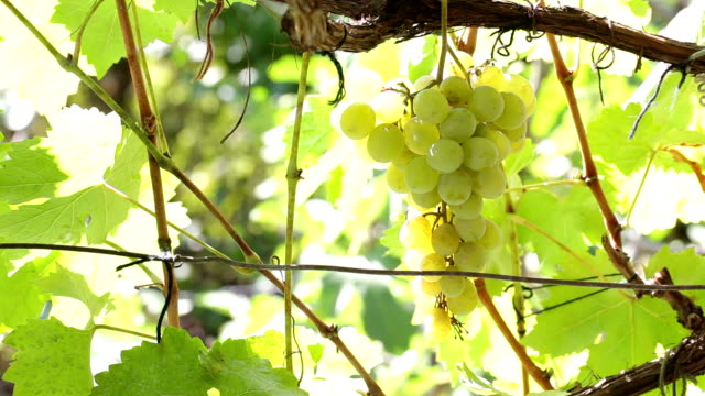 uva bianca - uva riesling bianco video stock e b–roll