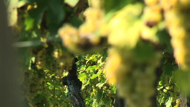hd: white grape - steiermark bildbanksvideor och videomaterial från bakom kulisserna
