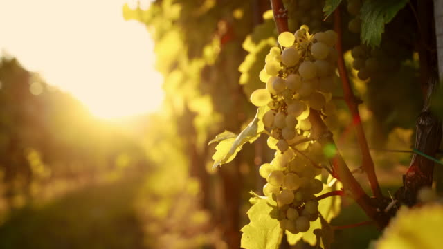 White grapes against the sunlight video