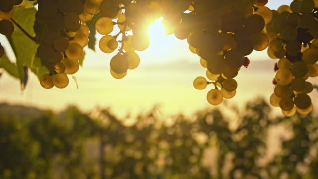 DS CU White grapes against the sunrise sunlight video