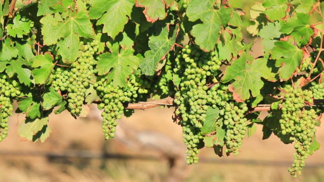 White grapes at sunset video