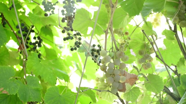 white grapes in a vineyard on a sunny day. growing grapes for juice or wine - uva riesling bianco video stock e b–roll