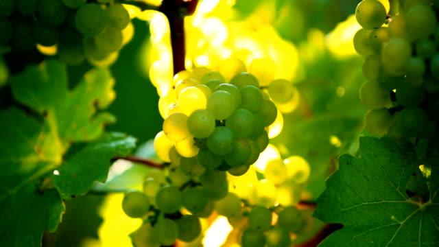 White Grapes in the Sunlight Tilt Up video