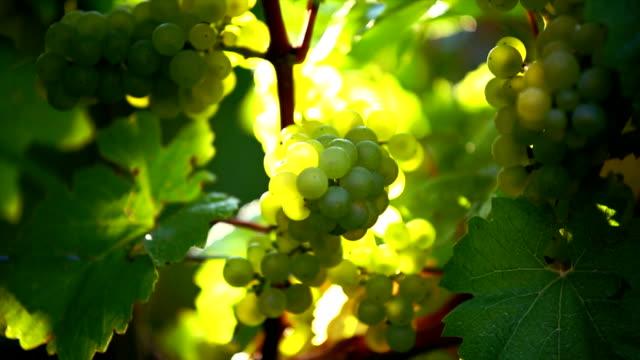 white grapes in the sunlight cu - vit rieslingdruva bildbanksvideor och videomaterial från bakom kulisserna