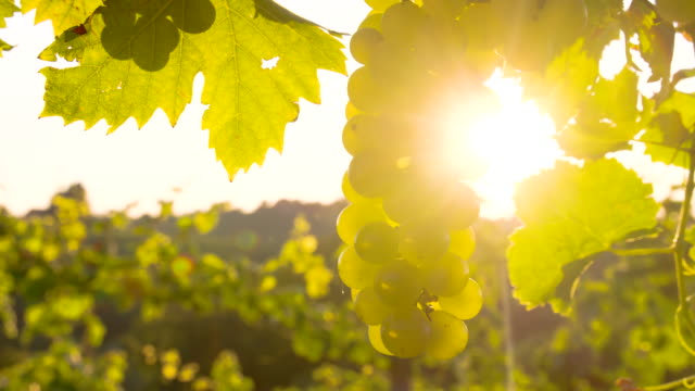 CU DS White Grapes In The Sunlight video