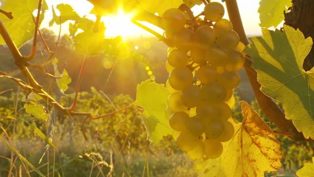 dolly hd: uva bianca nel vigneto - azienda vinicola video stock e b–roll
