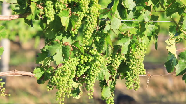 White grapes of vine video