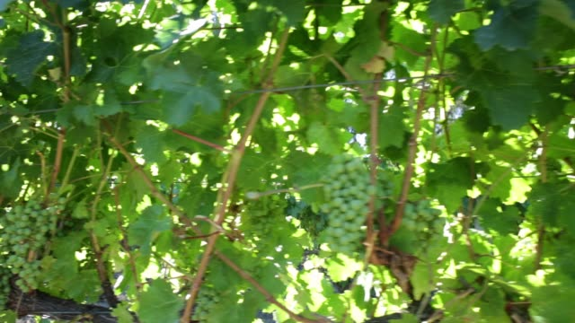 White grapes on vine video
