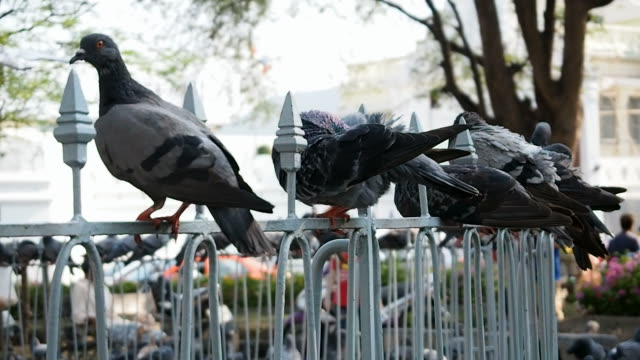 White & Grey Pigeons video