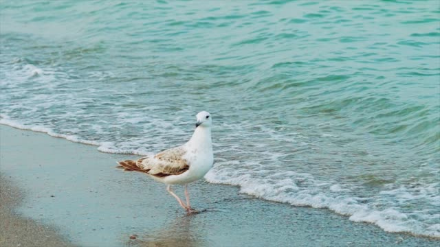 white gull is walking along the seashore and drinking water on the background of sea waves. white gull is walking along the seashore and drinking water on the background of sea waves. Close-up seagull stock videos & royalty-free footage