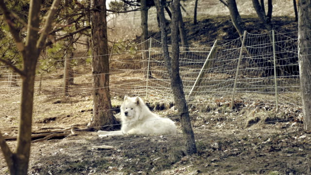 White hairy shaggy dog. Nordic husky lies in forest