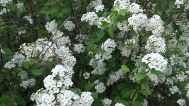 White hawthorn flowers