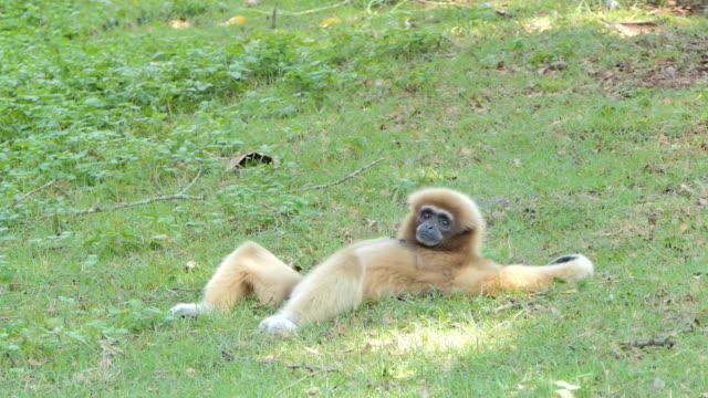White Hended Gibbon