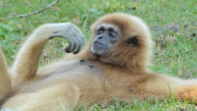 vit hended gibbon - gibbon människoapa bildbanksvideor och videomaterial från bakom kulisserna