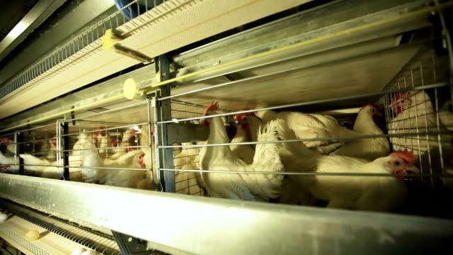 kafeslerde beyaz tavuklar - kafes sınırlı alan stok videoları ve detay görüntü çekimi