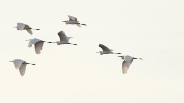 White herons video