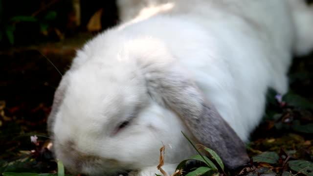 vidéos et rushes de blanc holland lop rabbit manger l'herbe verte - apprivoisé