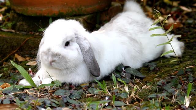 vidéos et rushes de blanc holland lop rabbit couchée dans le jardin - apprivoisé