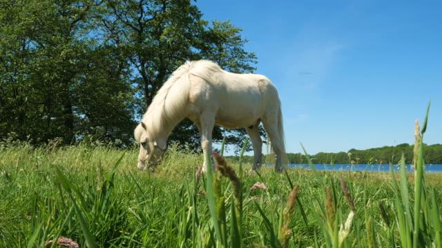 White horse at the lake, idyllic scene