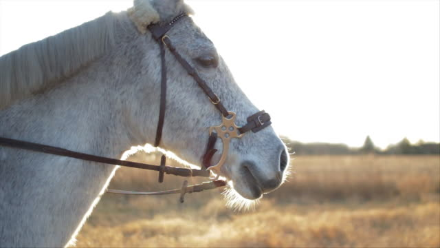 vídeos de stock e filmes b-roll de a white horse breathing smoke through his nose on a cold winter day. - sela
