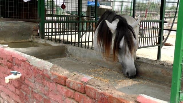 A white horse eating food and fodder