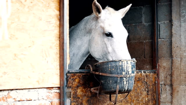 White horse eating from bucket in a barn video