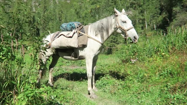 White horse eating grass with saddle on its back. Packhorses on a trekking route. Altai Mountains, Russia. White horse eating grass with saddle on its back. Packhorses on a trekking route. Altai Mountains, Russia. mare stock videos & royalty-free footage