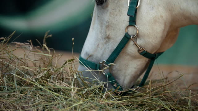 White horse eating hay in the stable White horse eating hay in the stable, close up corral stock videos & royalty-free footage