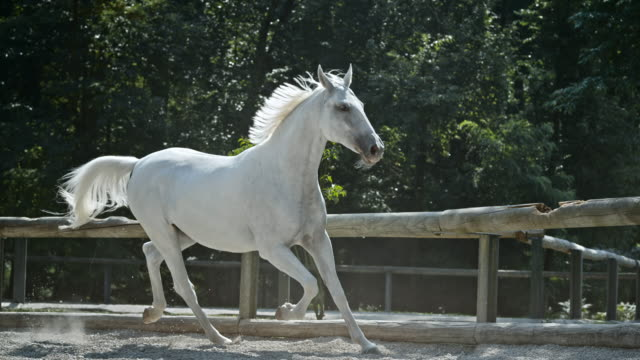 slo, mo, ld white horse galloping in zur lounge - pferd stock-videos und b-roll-filmmaterial