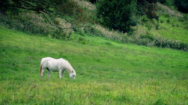 Weißes Pferd grasen auf der Wiese – Video